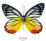 Delias hyparete indica (Thailand) A-