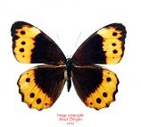 Oxeoschistus pronax (Peru)
