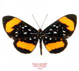 Stalachtis latefasciata (Peru) A1-