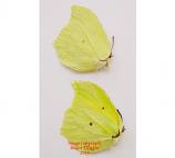 Gonepteryx mahaguru gistel (Korea)