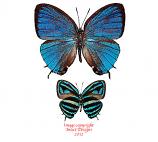 Thestius meridionalis (Peru) A-