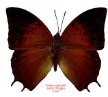 Charaxes amycus georgius (Philippines)