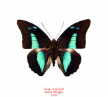 Prepona amphimachus (Peru)