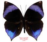 Zeuxidia amethystus (Malaysia)