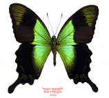 Papilio peranthus transiens (Bali) A1 and A-