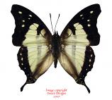 Charaxes zoolina (Tanzania) A-