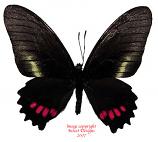 Mimoides ariathes cynamon (Peru) A-